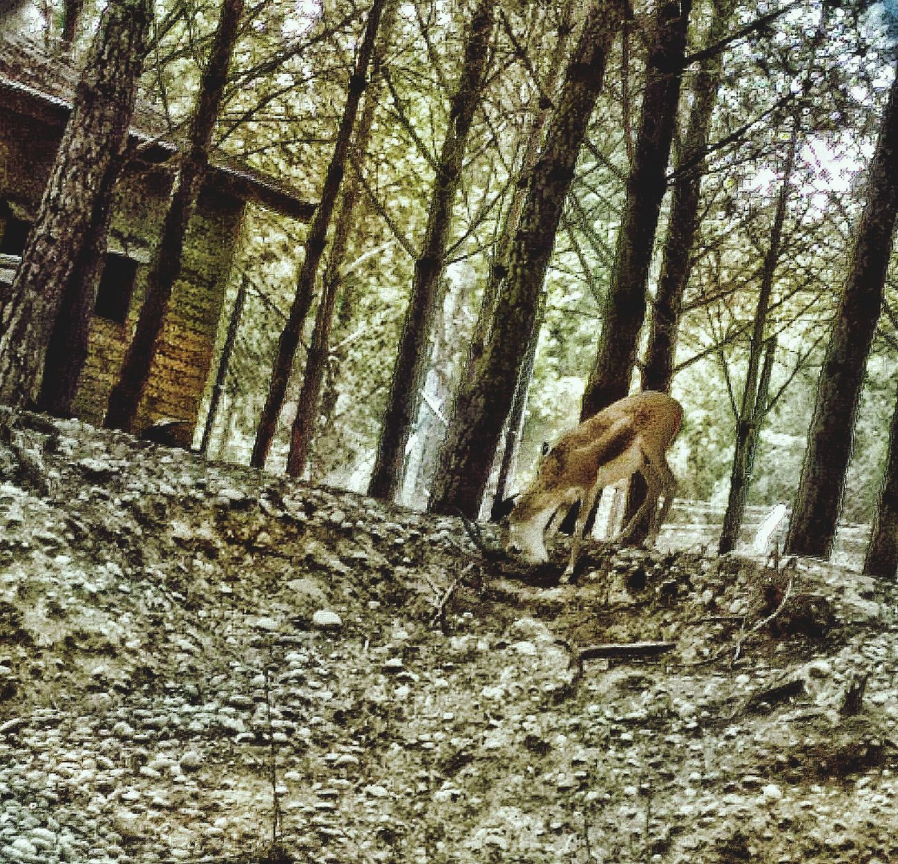Mountain Nature Animal Photography Mountain Life Day One Person Real People Tree Outdoors Tree Trunk Men Full Length People First Eyeem Photo Deer Deers Nature Beauty Peace Deercamp