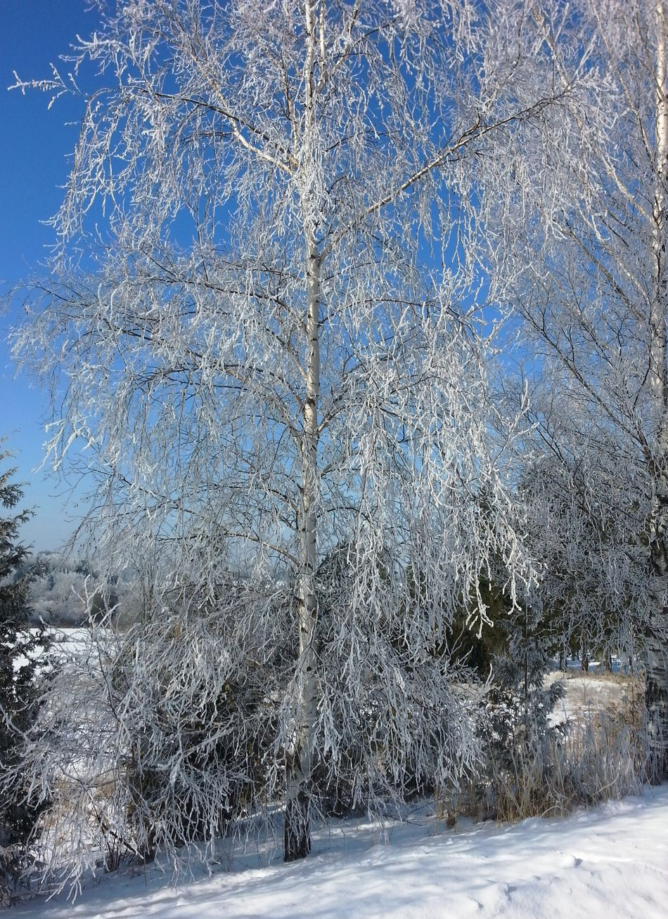 Drapped In Ice Ice Crystals White Birch Pure Blue Sky Winter Frost Winter Wonderland