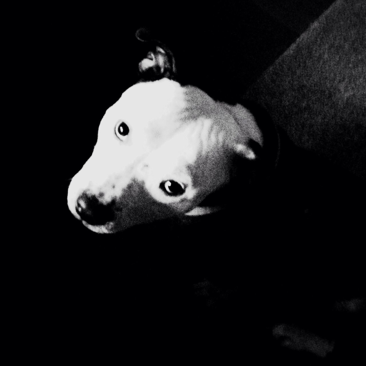 dog, pets, one animal, domestic animals, animal themes, mammal, indoors, animal head, looking at camera, black background, portrait, pit bull terrier, close-up, no people, beagle, day