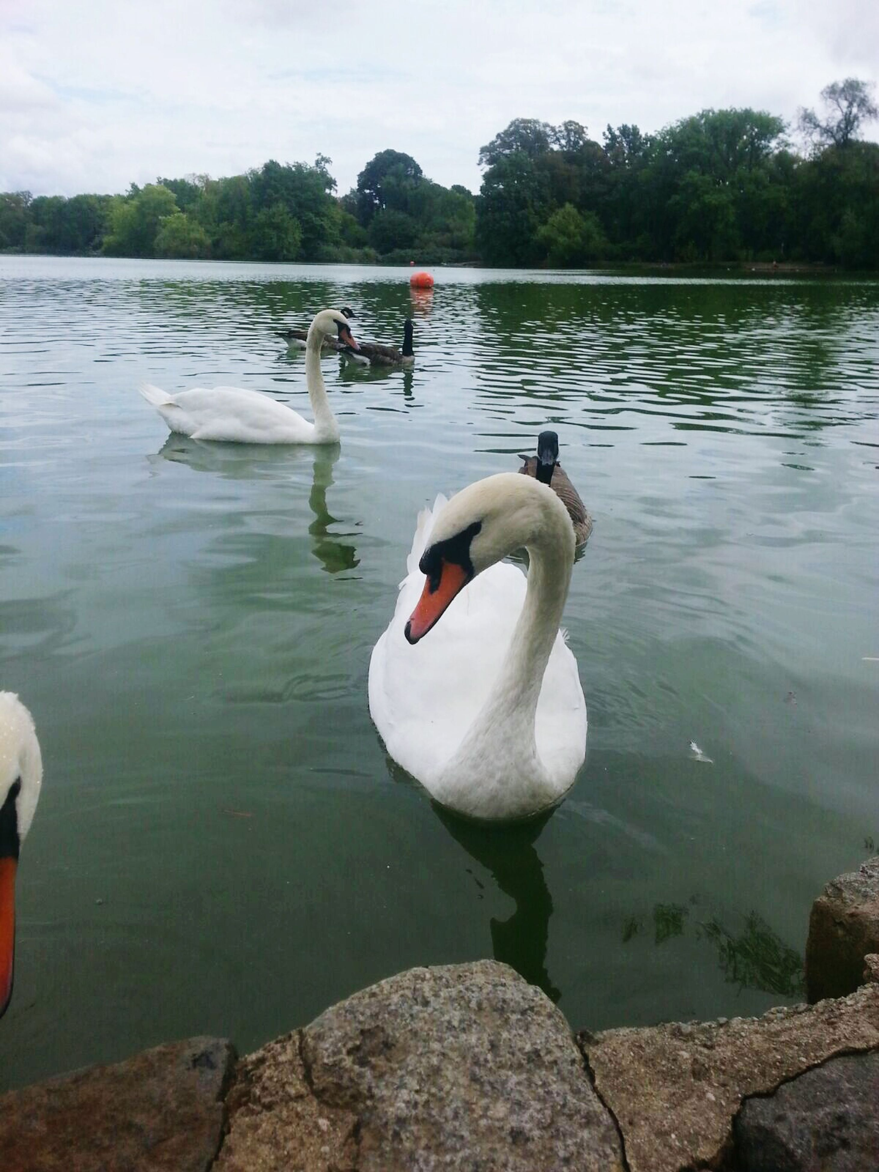 swan, lake, bird, animal themes, swimming, water, tranquil scene, water bird, animals in the wild, nature, floating on water, outdoors, day, togetherness, no people