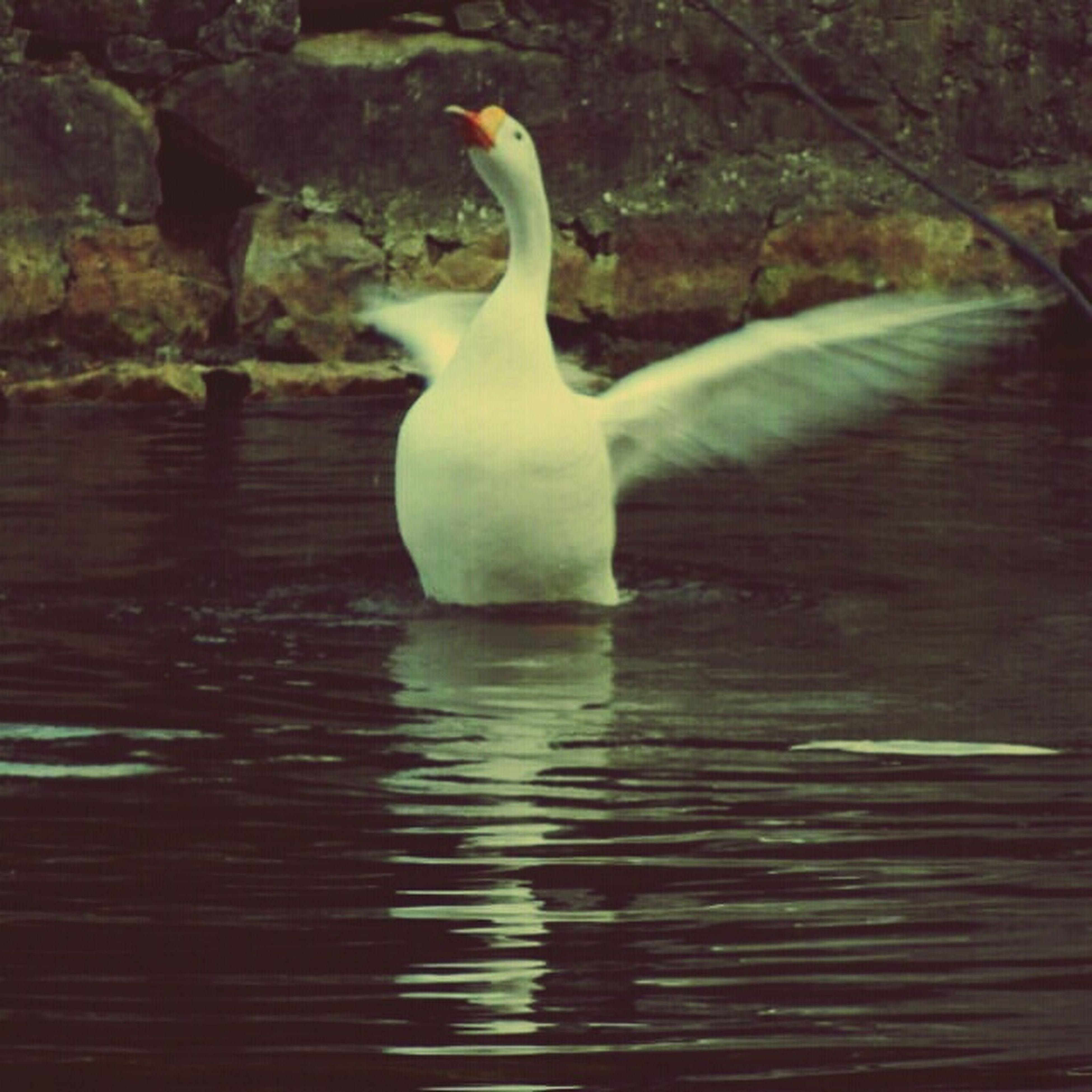 animal themes, bird, one animal, water, wildlife, animals in the wild, white color, waterfront, nature, lake, reflection, swan, swimming, high angle view, day, white, no people, outdoors, beak, beauty in nature