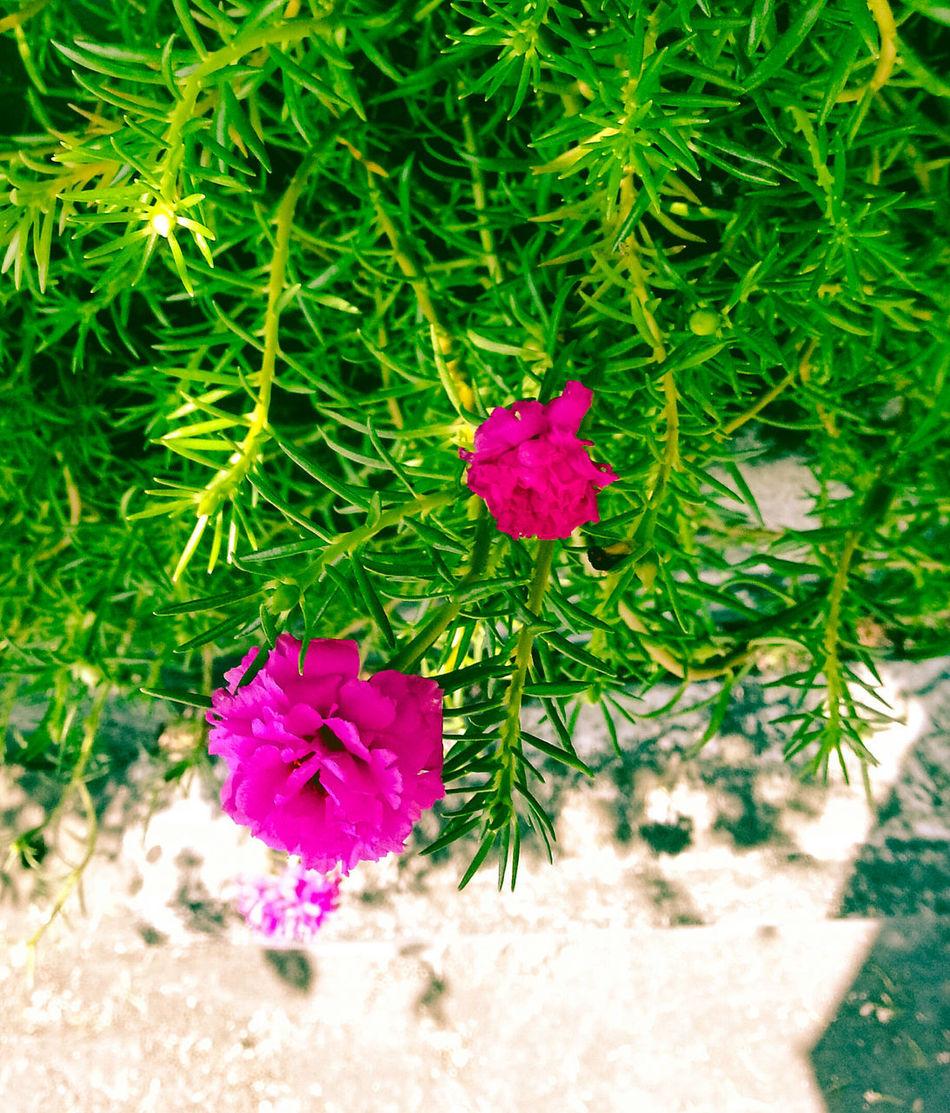 Flower of Summer Relaxing Beautiful Flower Summer Enjoying Life Aroundme  Niceshots Green Leaves Sundaynight