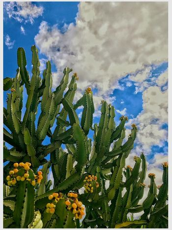 Candelabra Tree (Eurphorbia ingens) This Week On Eyeem EyeEm Best Shots Malephotographerofthemonth Euphorbia Growth Plant Nature Cactus Beauty In Nature Green Color Sky Cloud - Sky Outdoors No People Day Sunlight Leaf Flower Freshness Close-up