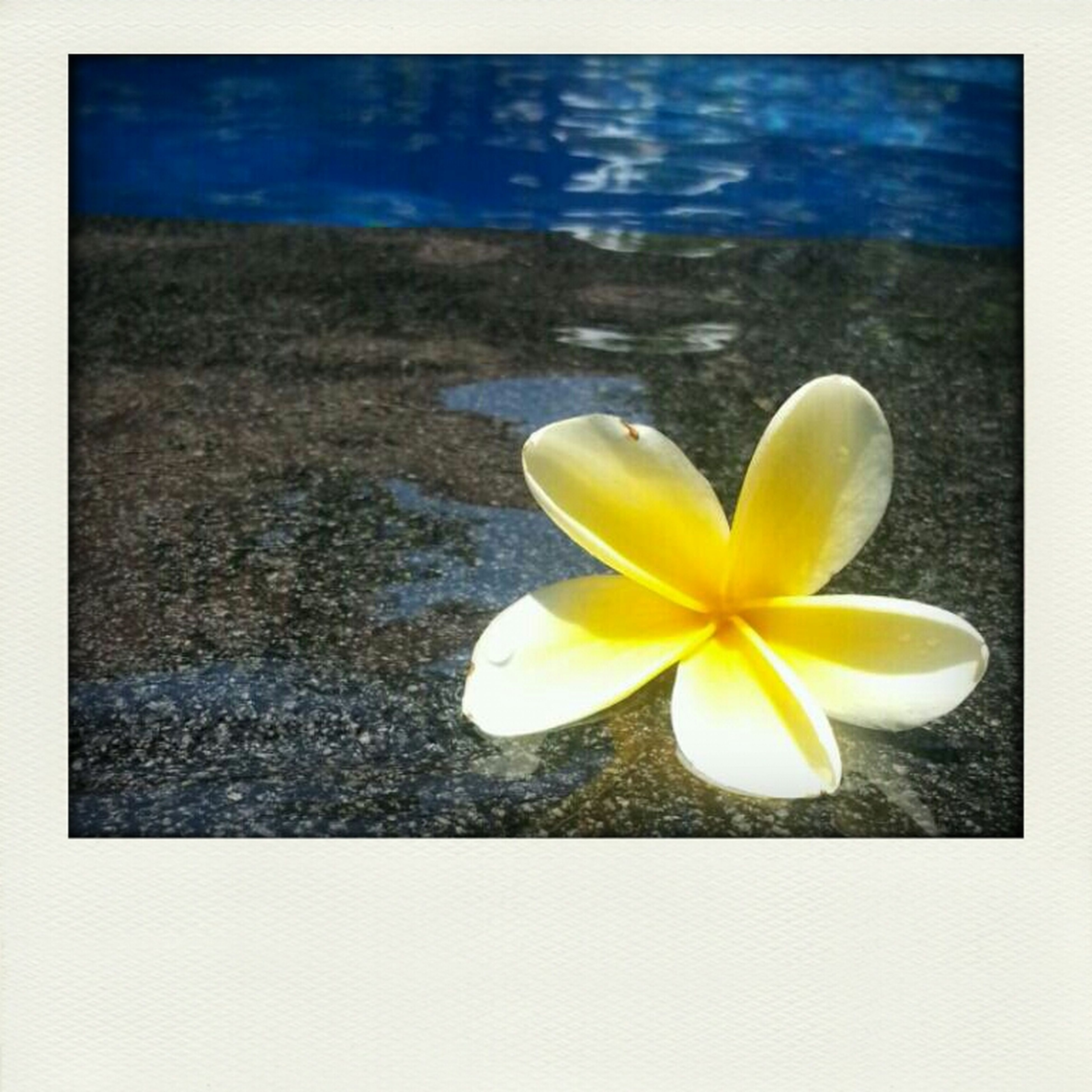 flower, petal, flower head, fragility, freshness, yellow, beauty in nature, nature, single flower, pollen, close-up, high angle view, water, blooming, growth, white color, plant, stamen, in bloom, water lily