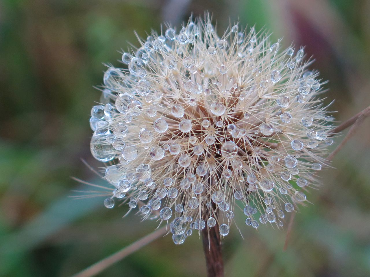 Dandelion Nature Photography Macro_collection Macro Photography Waterdropsphotography Waterdroplets Naturelover Cold Days