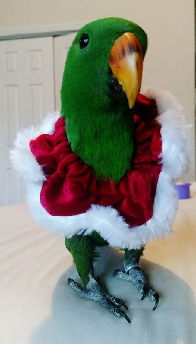 This is Kirby Greenpea. He is my 11month old Solomon island eclectus. Birds Bird Photography Parrot Holidays Solomon Island Eclectus Male Eclectus Eclectus Eclectusparrot Cute Cute Pets Exotic Birds