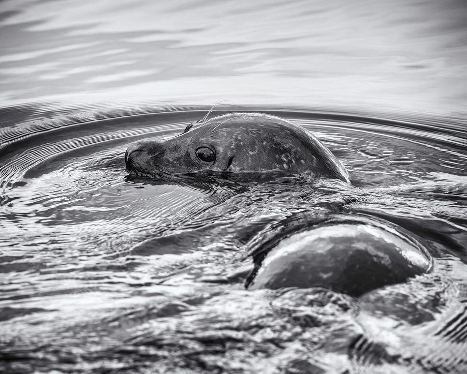 Seal at Atlanterhavsparken One Animal Animal Themes Water Mammal Outdoors Swimming Seal Canonphotography Canon5DMkIV No People Animal