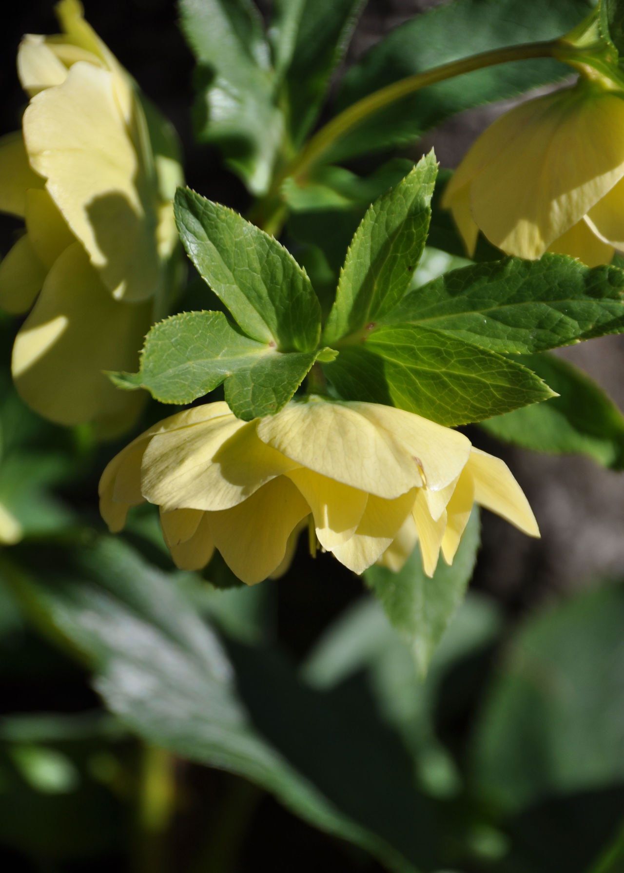 Christmas Rose Christrose Close-up Day Freshness Gelbe Christrose Green Color Growth Helleborus Niger January Leaf Nature No People Outdoors Plant Winter Flower  Yellow Christmas Rose