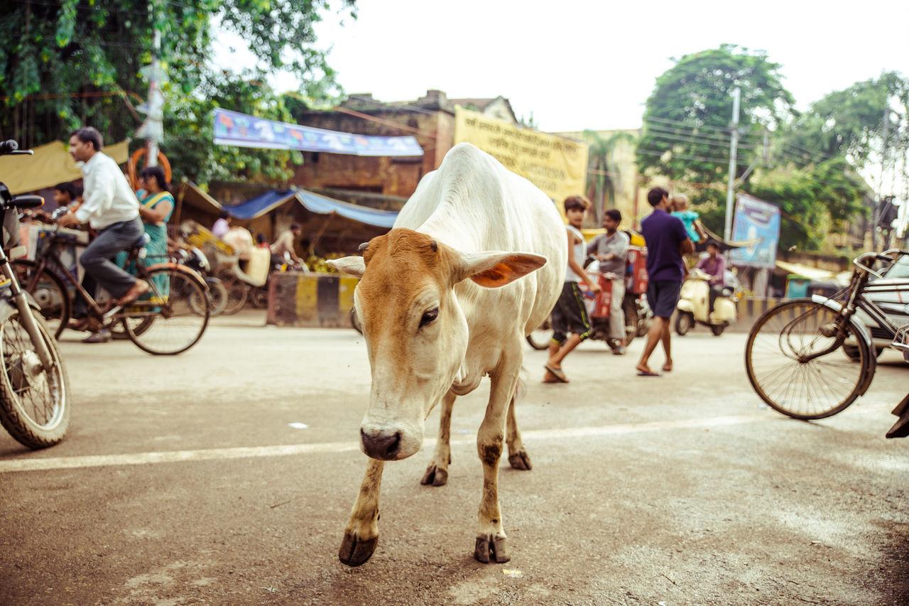 My Year My View Holy Cow? Domestic Animals Street Transportation Animal Themes Working Animal City Cow India Varanasi