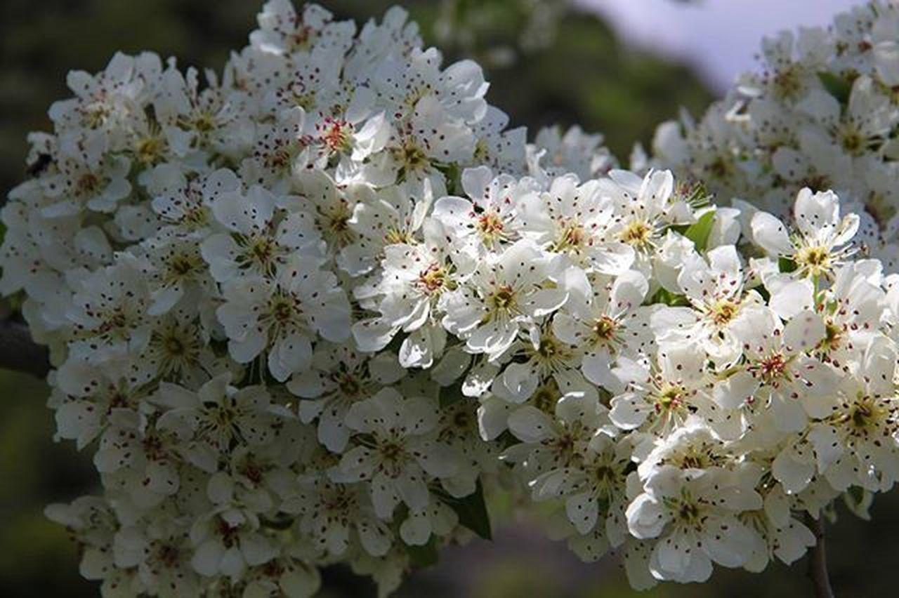 Primavera Spring Pranvere Fioribianchi Flowers Lulepranverore