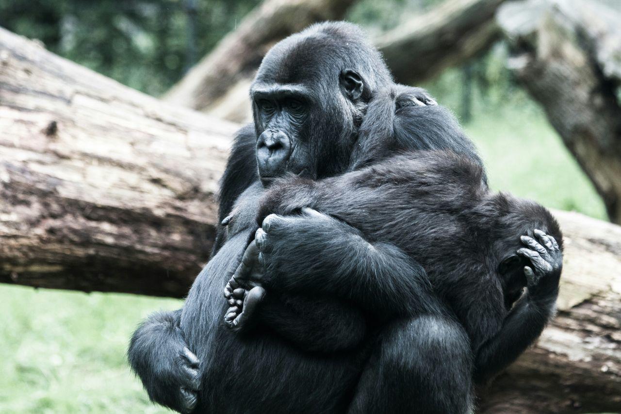 Beautiful stock photos of gorillas, Animal Themes, Animal Wildlife, Animals In The Wild, Day