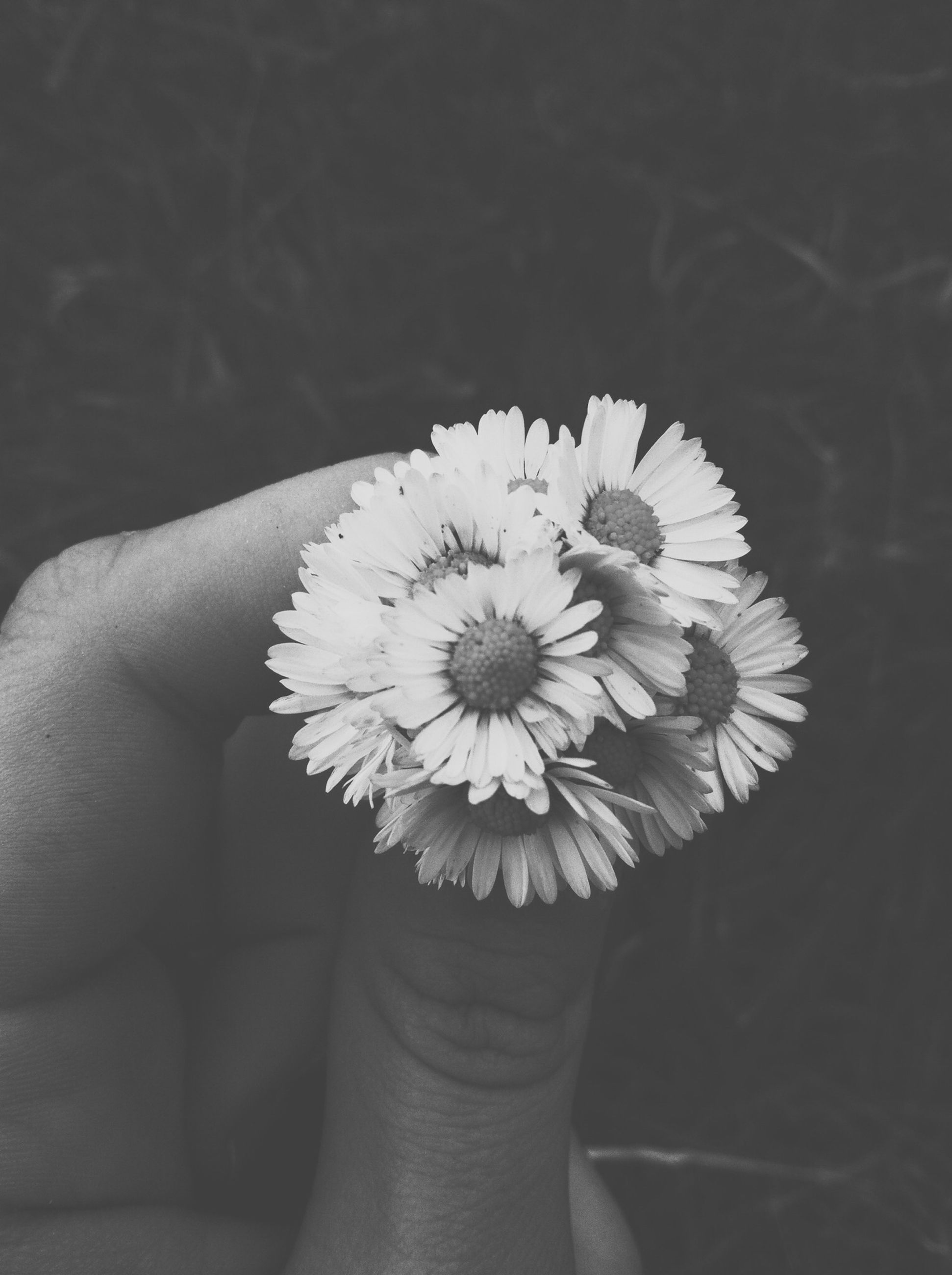 person, flower, holding, fragility, flower head, petal, freshness, part of, human finger, single flower, personal perspective, cropped, white color, close-up, unrecognizable person, beauty in nature, daisy
