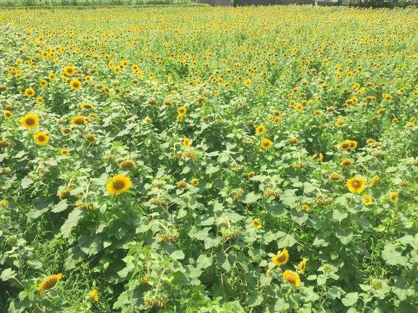 ひまわり畑 ひまわり ひまわり Sun Flower Sun Flowers
