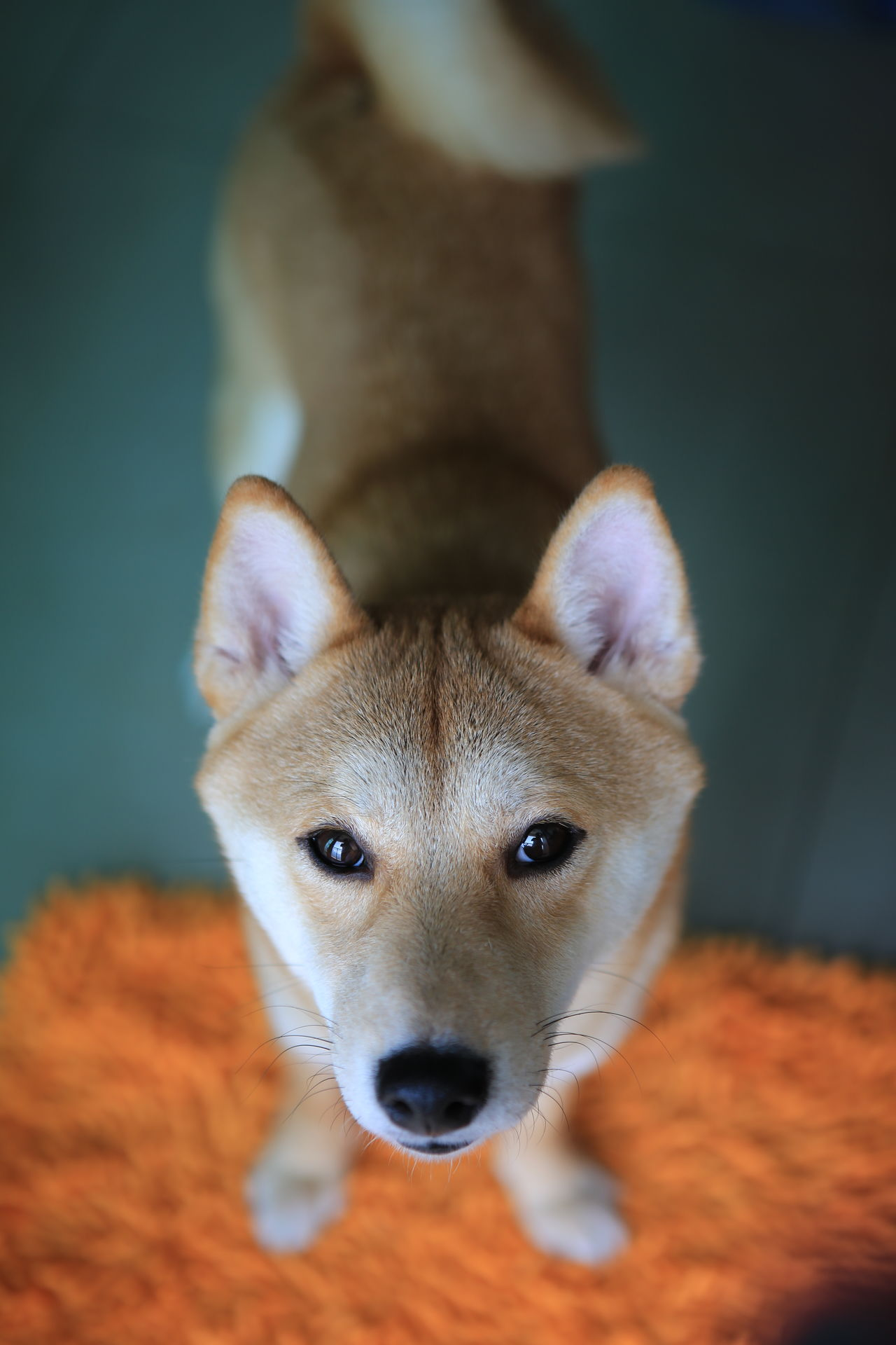 I miss You Animals Dog Dog Love Doggy I Miss U Look At U Looking Looking Up Shiba Inu Shiba Inu LOVE Shibainu Fresh On Market May 2016 Market Reviewers' Top Picks Fresh On Market 2016