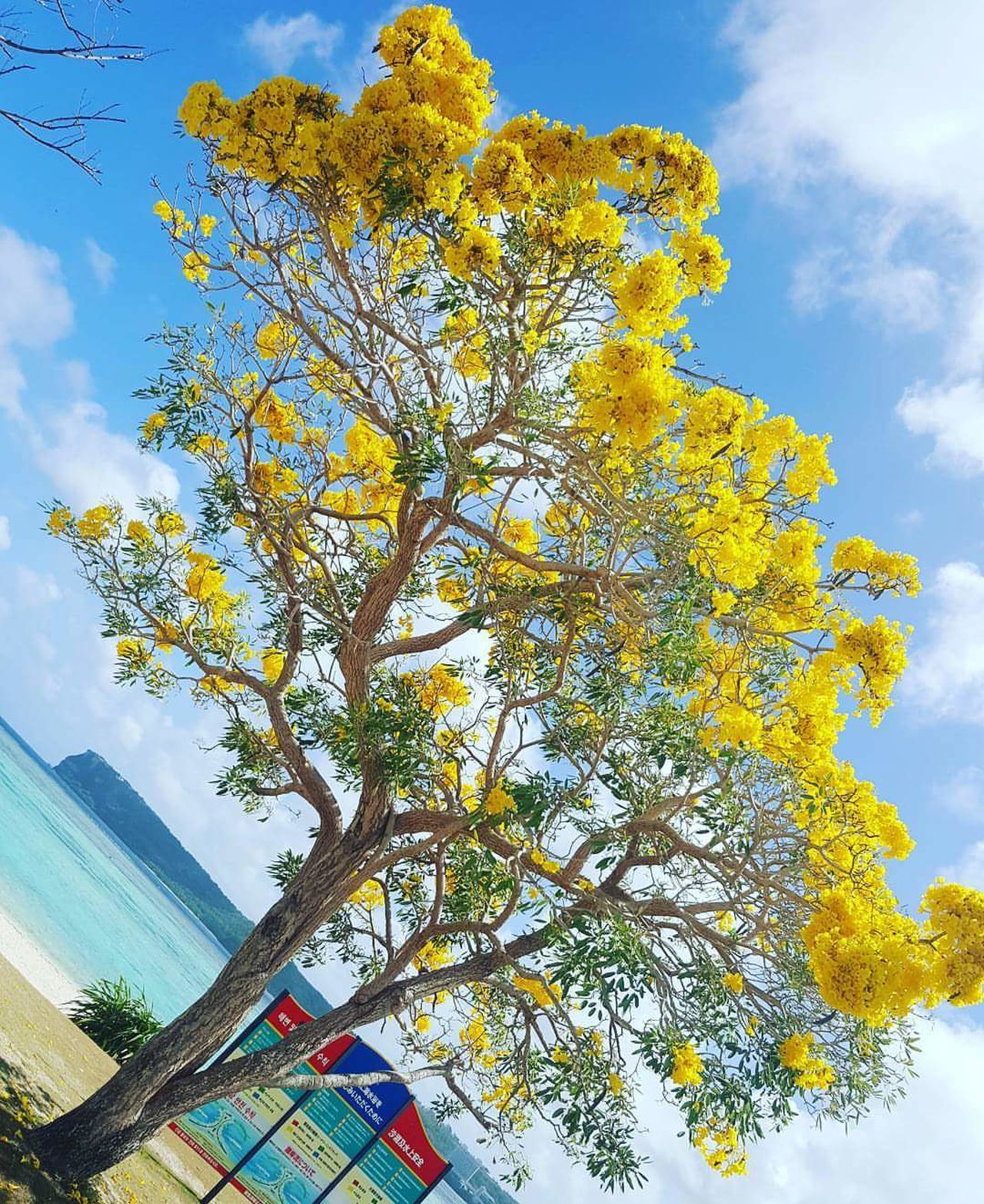 Yellow Flower Tree Outdoors Beach