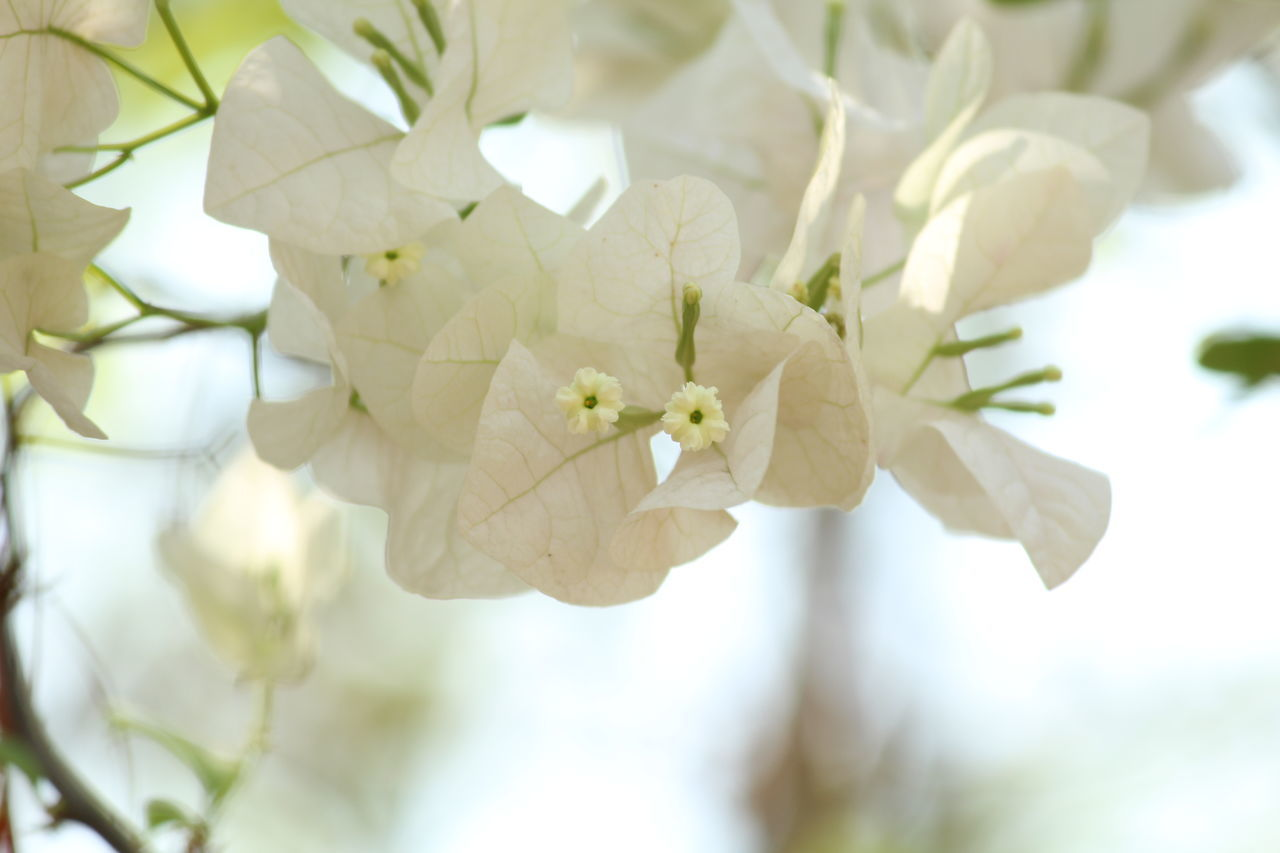 flower, white color, fragility, growth, beauty in nature, nature, focus on foreground, freshness, petal, branch, close-up, day, tree, no people, outdoors, plant, flower head