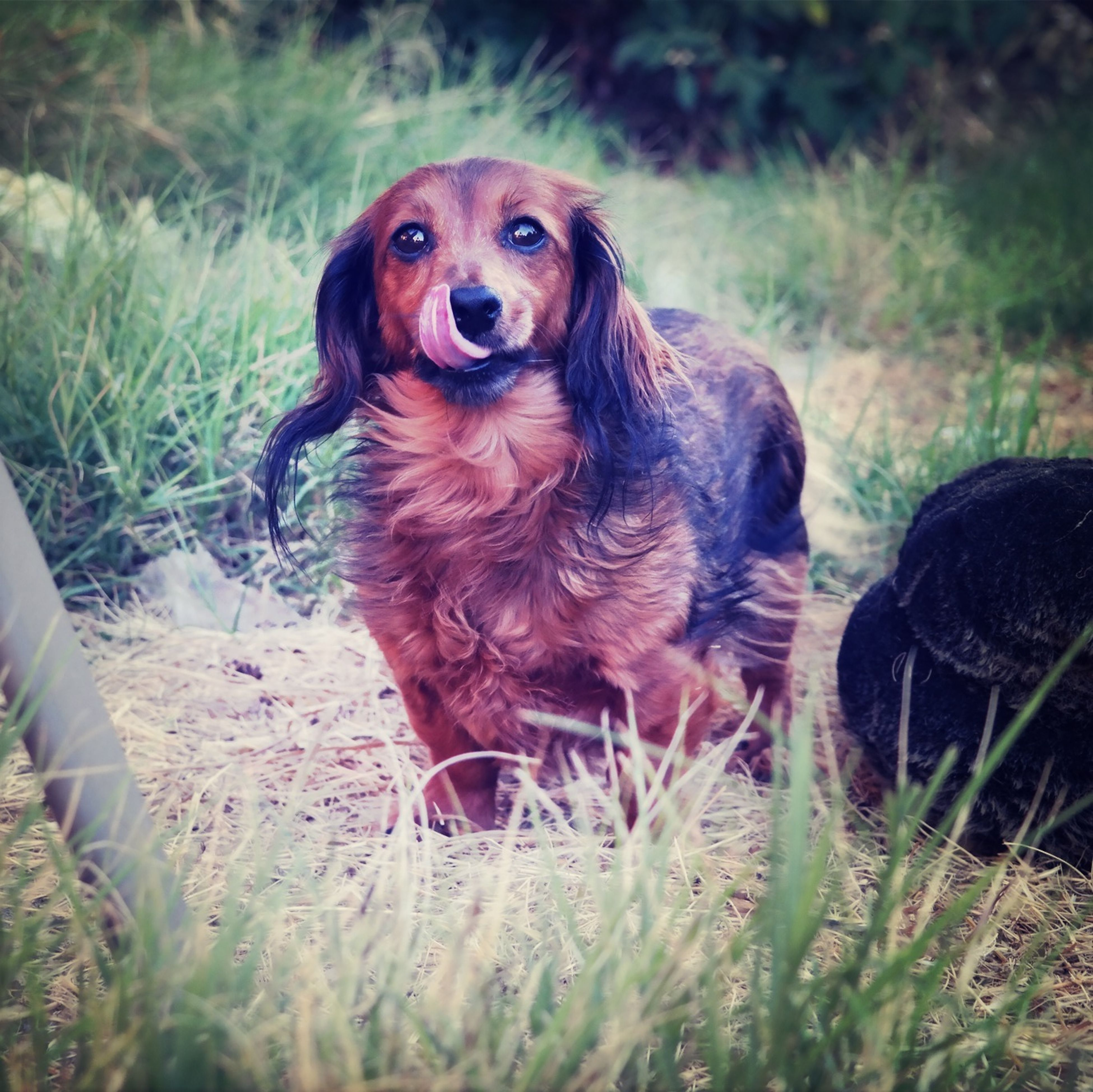 animal themes, mammal, one animal, domestic animals, dog, portrait, brown, grass, animal head, animals in the wild, nature, field, pets, looking at camera, outdoors, plant, wildlife, day, no people, two animals