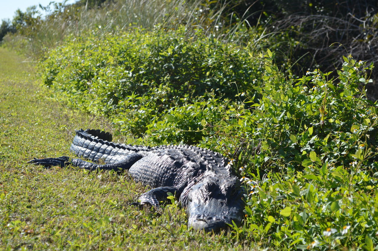 #alligator #wildlife Animal Head  Animal Themes Beauty In Nature Nature Outdoors Tranquility Zoology
