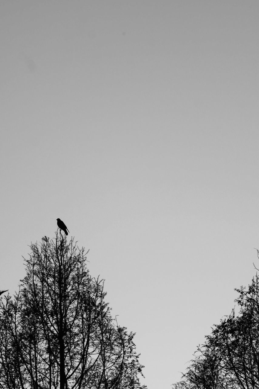 animals in the wild, bird, low angle view, tree, one animal, animal themes, clear sky, nature, animal wildlife, copy space, perching, outdoors, silhouette, no people, day, sky, beauty in nature, branch, bare tree