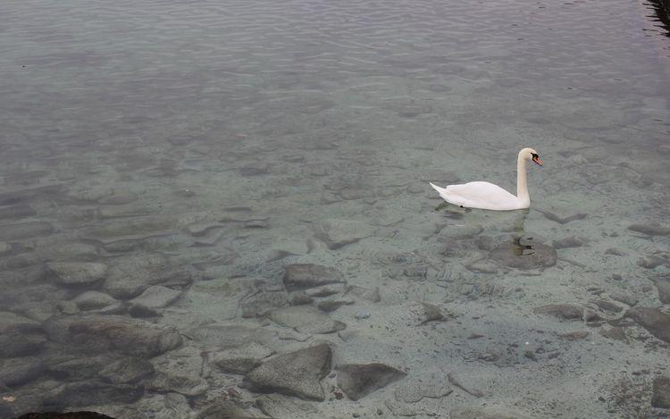 White Swan in lake Geneva #Geneva #Lake #Swan #trip Animal Themes Animals In The Wild Beauty In Nature Nature Outdoors Tranquil Scene Water Bird Wildlife