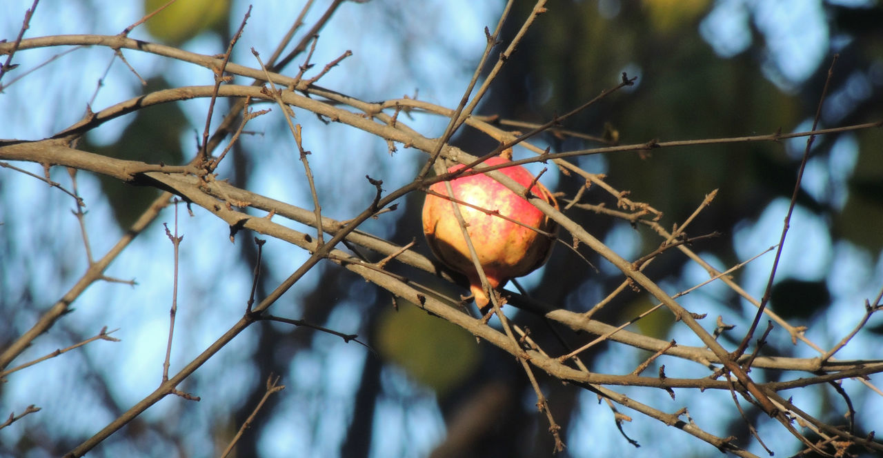 fruit, nature, branch, focus on foreground, tree, no people, twig, red, close-up, day, food and drink, beauty in nature, growth, outdoors, rose hip, leaf, dried plant, food, flower, freshness
