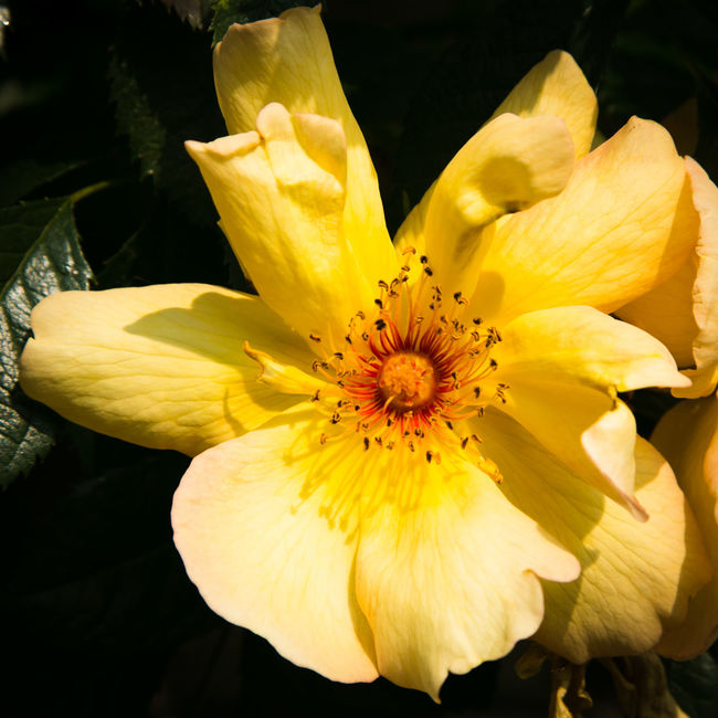 Beauty In Nature Beauty Of Decay Close-up Flower No People Rose🌹 Softness Yellow