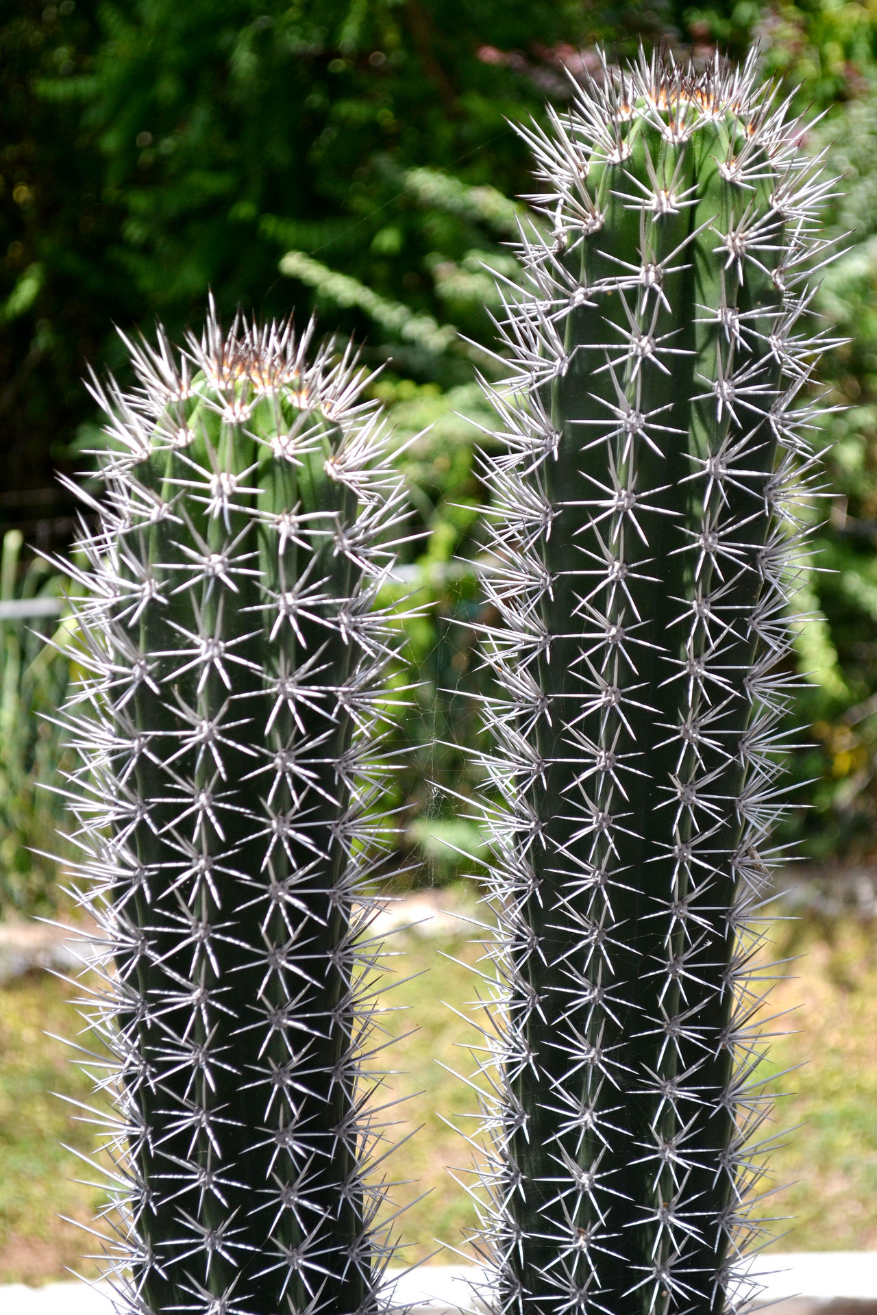 Cactus Plant Nature_collection Garden Green Prickly Pricks