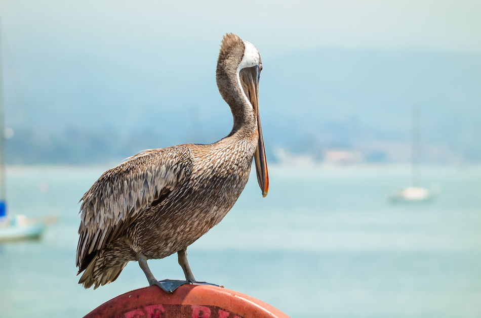 Pelican at the pier Animal Themes Animal Wildlife Animals In The Wild Beach Bird California Day Mammal Nature No People Ocean One Animal Outdoors Pelican Perching Sea Sky USA