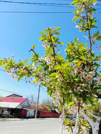 Tree Day Outdoors Built Structure Building Exterior Sky Nature Clear Sky Flower Blue Street Photography Sour Cherry Blossomed Sakura Sour Cherry Tree Wolfzuachis Ionita Veronica Showcase: May @WOLFZUACHiV Eyeem Market Veronica Ionita Showcase: 2017 Huaweiphotography Wolfzuachiv On Market Edited By @wolfzuachis The Street Photographer - 2017 EyeEm Awards