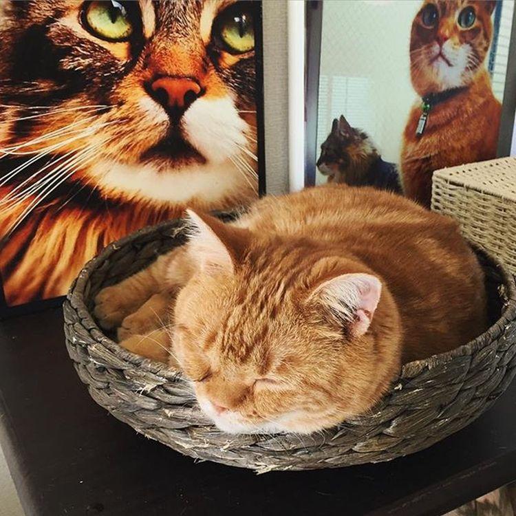 Cat Neko ねこ 猫 ねこ Cats スコティッシュフォールド Scottishfold 茶トラ ロロ Lolo コケティッシュフォールド コケティッシュホールド かご猫 朝ロロ〜😆😸💕 目薬切れたからまた病院でもらってこないとね…💦