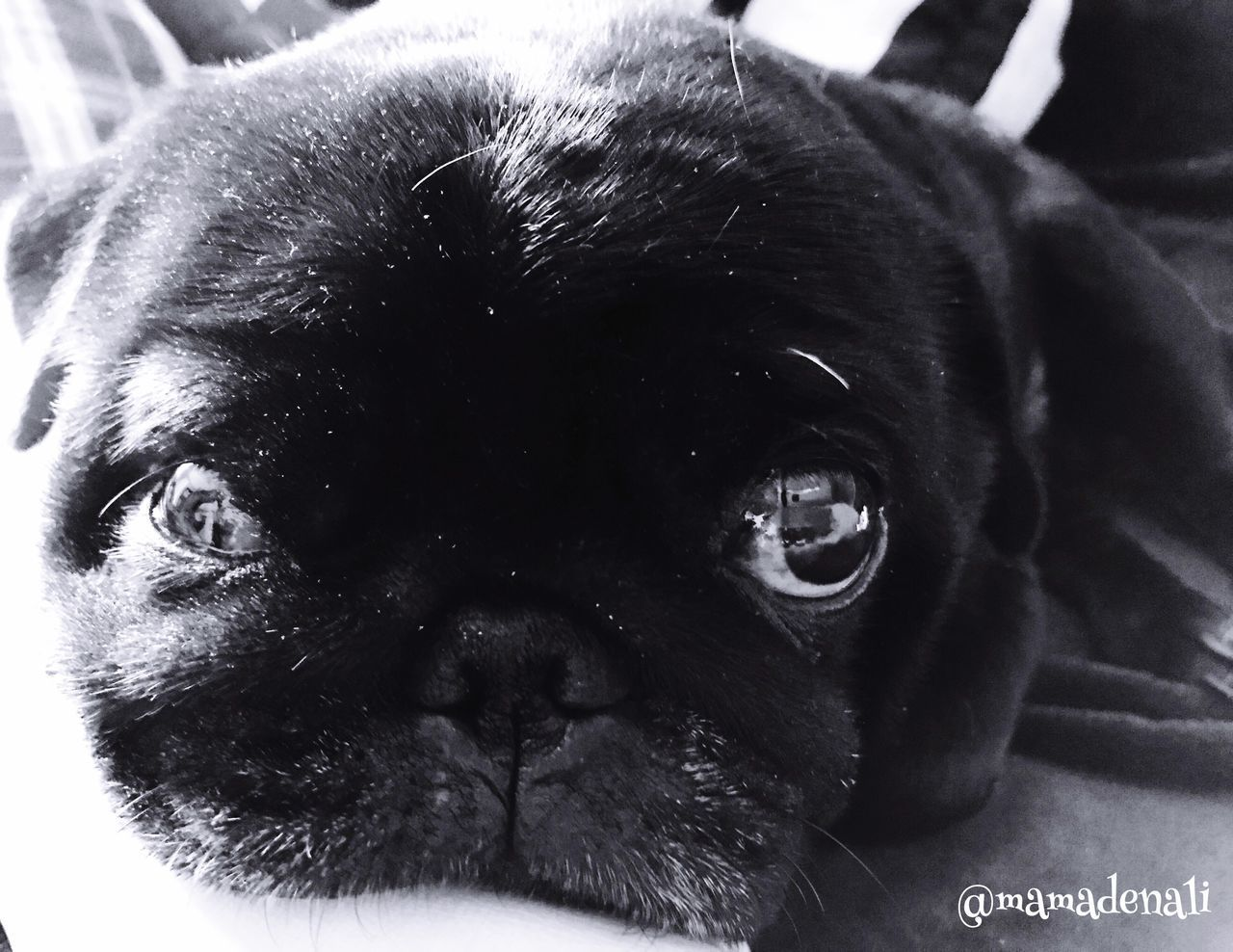 Dog Pets Domestic Animals Mammal One Animal Animal Themes Close-up No People Indoors  Black Color Portrait Day Puglover Puglife Pug Looking At Camera Blackandwhite EyeEmNewHere