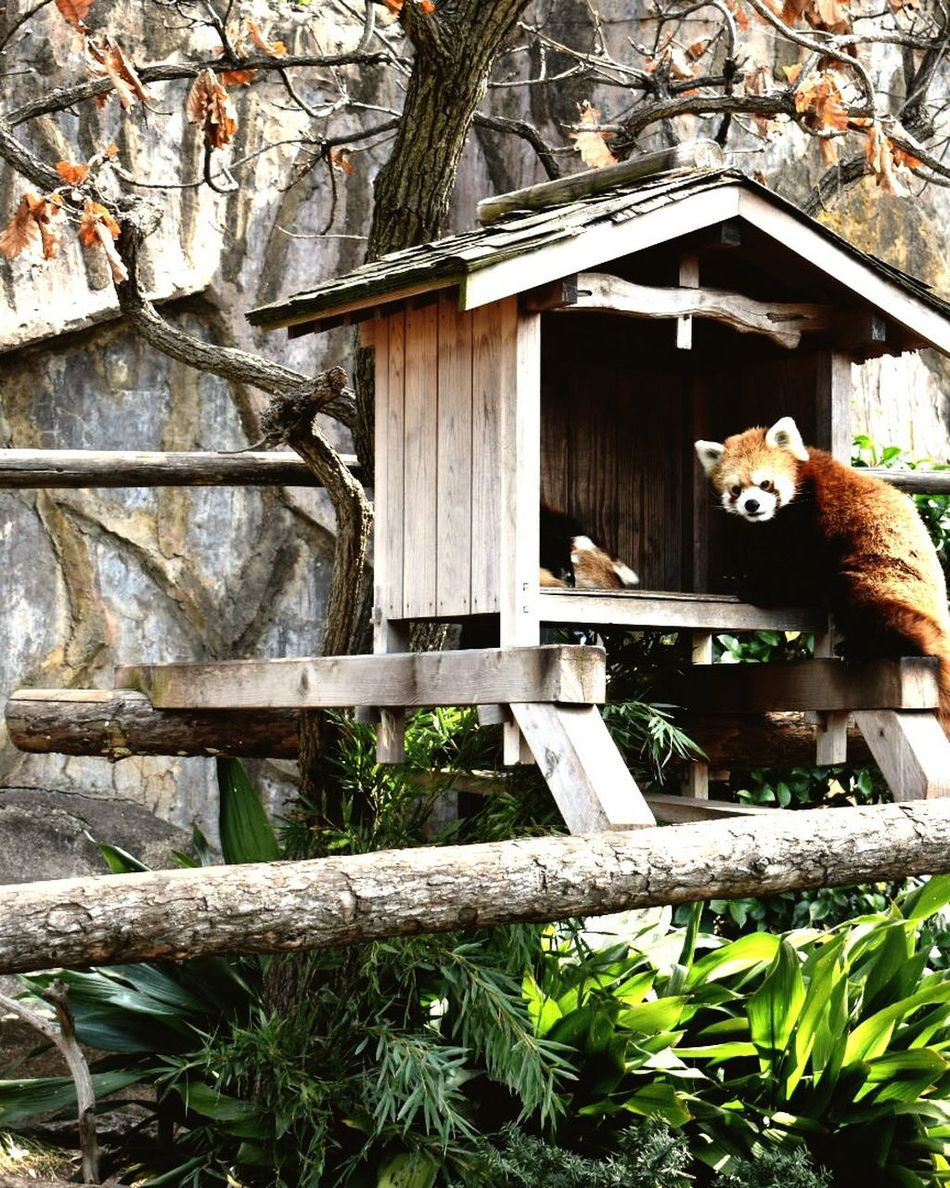 One Animal Animal Themes Mammal No People Domestic Cat Wood - Material Day Outdoors Domestic Animals Tree Red Panda Architecture Pets Nature