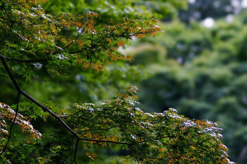 Green And Red Leaves Green Red Leaves Green And Red Tree Nature Beauty In Nature Autumn Colors Autumn Autumn🍁🍁🍁 Autumn Leaves Meiji-Jingu Tokyo Japan Tokyo,Japan October October 2016 Travel Atomosphere Nature