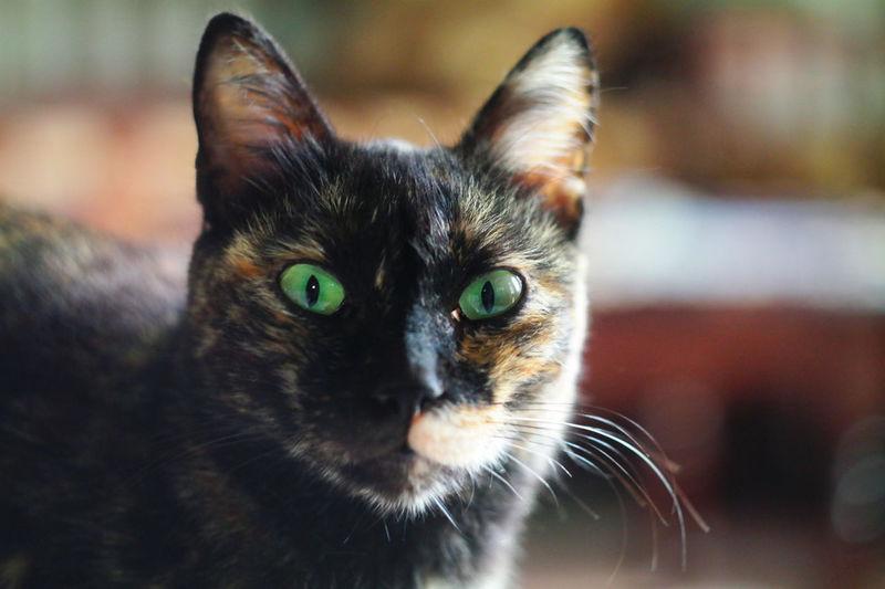Animal Cat Cat Lovers Eye Contact Eyes Green Helios 44M-4 58mm 1:2 Look NX2000 Pets Portrait Surprised Surprised Face