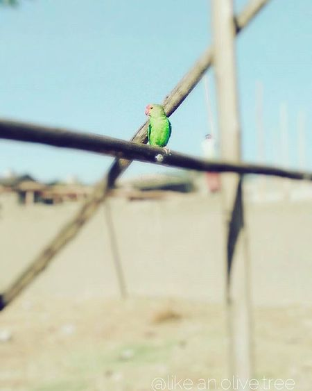 I don't know what these parrot knockoffs are but found em where I live,, Featureme Parrot Birds Wildlife Lebu Elnino Green Photographer Amateur Amateurphotography Amateurphotographer  Photo Photography
