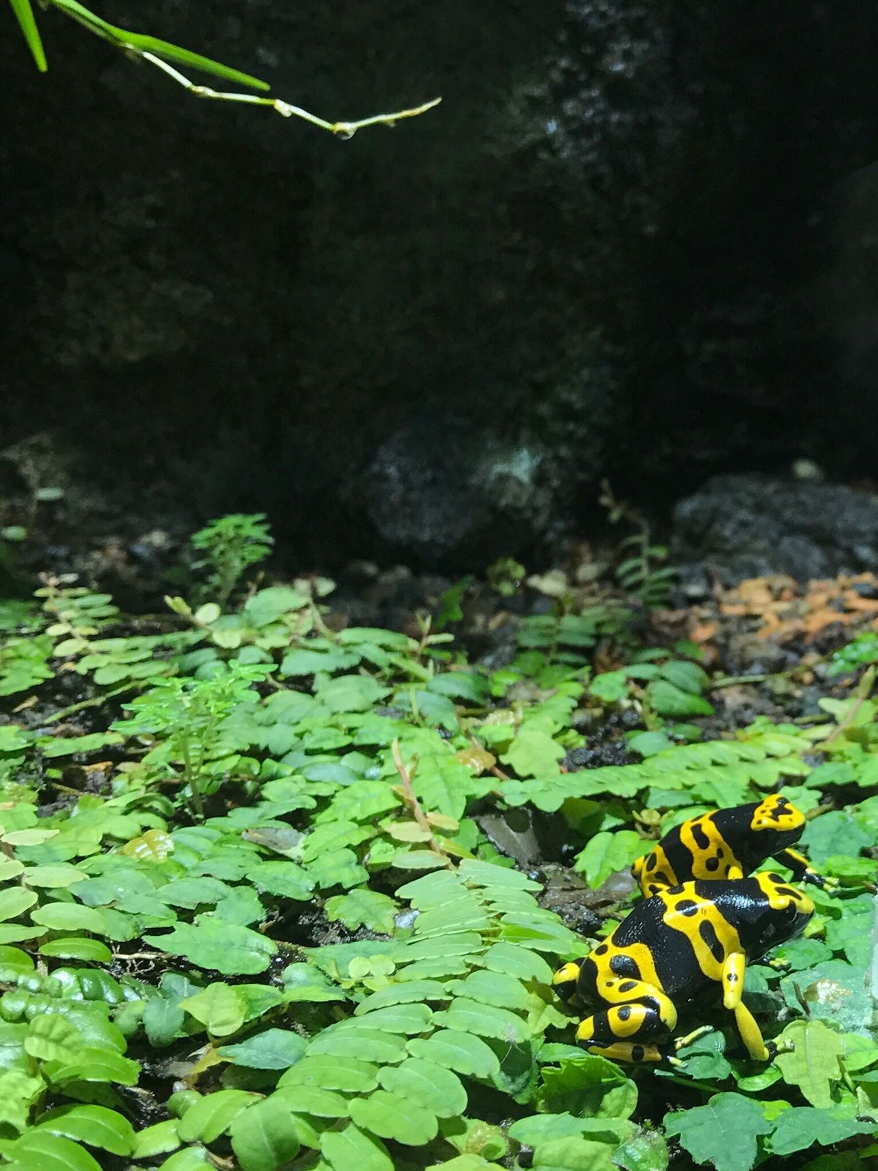 Yellow Banded Poison Dart Frog Gelbgebänderter Pfeilgiftfrosch Dendrobates Leucomelas Nature Leaf Growth Plant Frog Green Color Beauty In Nature Fragility Freshness No People Close-up EyeEmSwiss Zoology Zoo