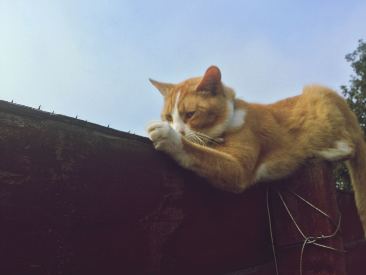 domestic cat, domestic animals, pets, feline, animal themes, one animal, mammal, cat, no people, whisker, day, low angle view, relaxation, sitting, outdoors, ginger cat, sky, close-up, nature