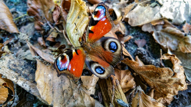 Tagpfauenauge Animal Behavior Animal Markings Animal Themes Animal Wing Animals In The Wild Beauty In Nature Brown Butterfly Butterfly - Insect Close-up Focus On Foreground Handy Photo Insect Multi Colored Nature No People One Animal Outdoors Symbiotic Relationship Wildlife Zoology