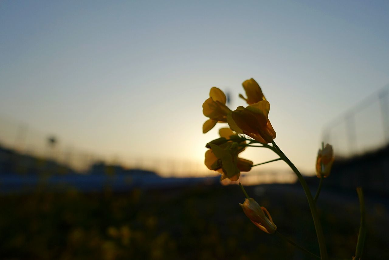 Nature Sunset Growth Beauty In Nature Close-up Plant Freshness Outdoors Biology Sky No People 花 菜の花 Capture The Moment Photography Yellow Flower Day Taking Photos