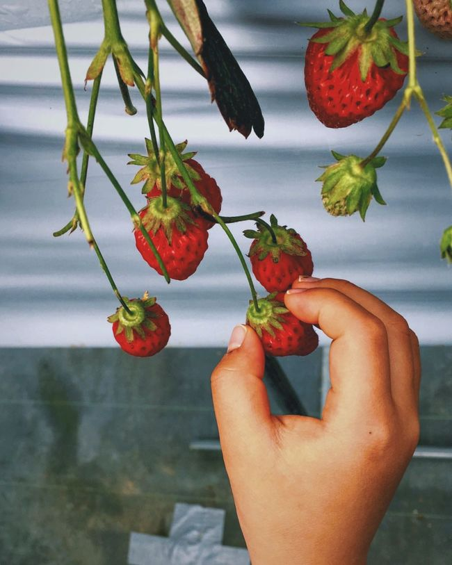 Things I Like Showcase April Japan Holiday Strawberry Strawberries Picking Strawberies  Fruit Fruits Vscocam VSCO The Portraitist - 2016 EyeEm Awards Colour Of Life Maximum Closeness