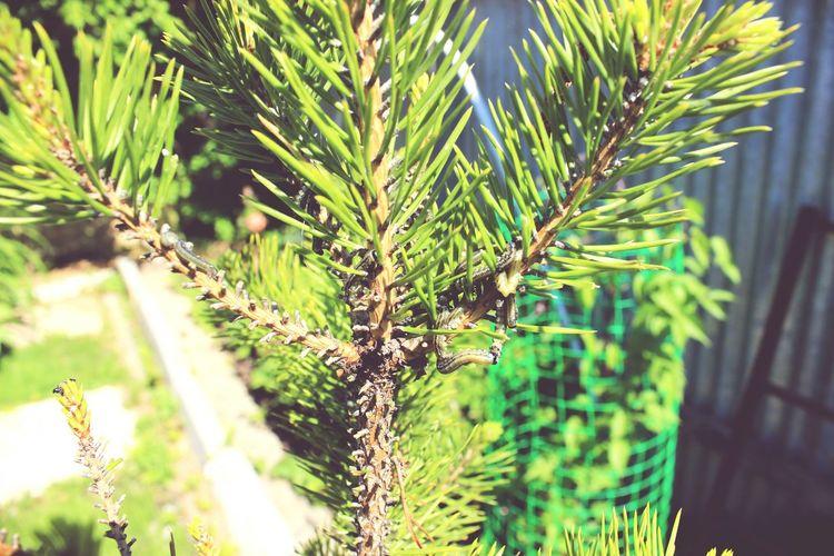 Pine Pine Tree Catterpilar Vermines