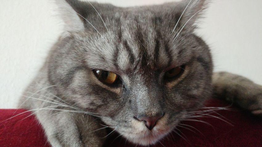 Animal British Shorthair Britishcat Cat Cats EyeEmNewHere Looking At Camera Pets Pupuka Royalcanin Whiskascat