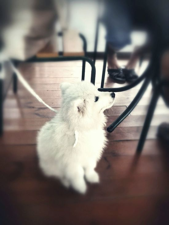 White Dog Dog Watching Dog Sitting White Pet Samoyed Taking Photos In Cafe  Let's Do It Chic! EyeEm Dogs
