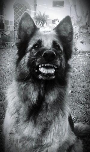 Dog Perro PastorAleman Dientes Theeth Felicidad Happydog German Shepherd