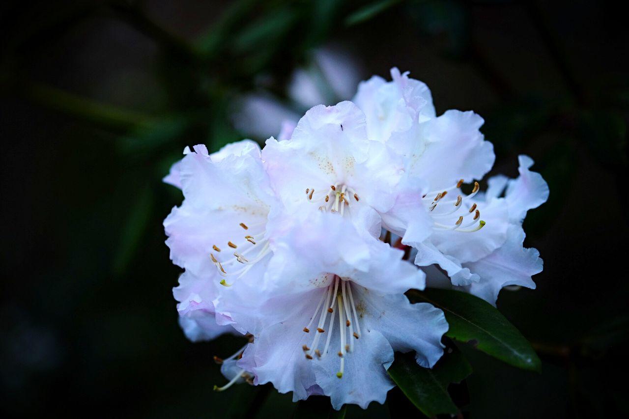 36/50 Back To Nature By Jacklycat Azalea Danke  für die Blumen ! Thankyou for Your Flowers ! JacklyCat Best Of The Joy 🙃