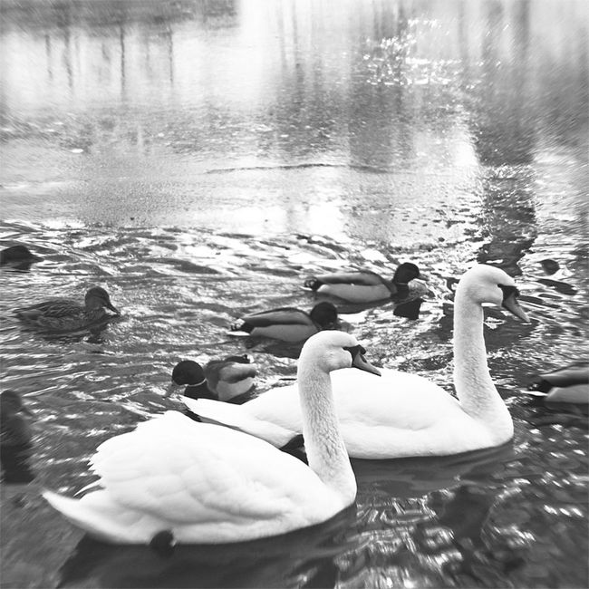 Animal Behavior Animal Themes Animal Wing Animals In The Wild Beauty In Nature Bird Lake Lakeshore Nature Scenics Swan Swans Swimming Togetherness Tranquil Scene Tranquility Water Water Bird Water Surface Wildlife Zoology