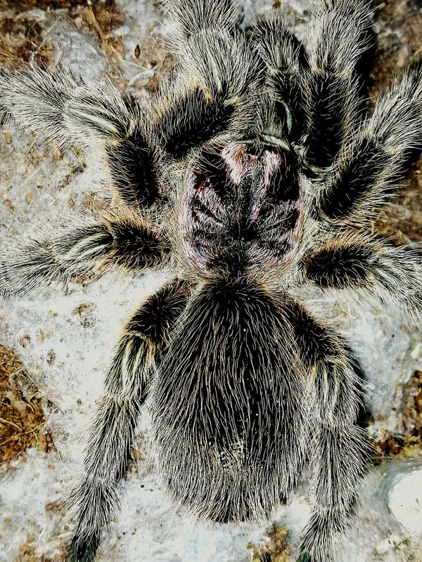 Tarantula Chile Rose Tarantula Spider Bug Eyem Nature Lover