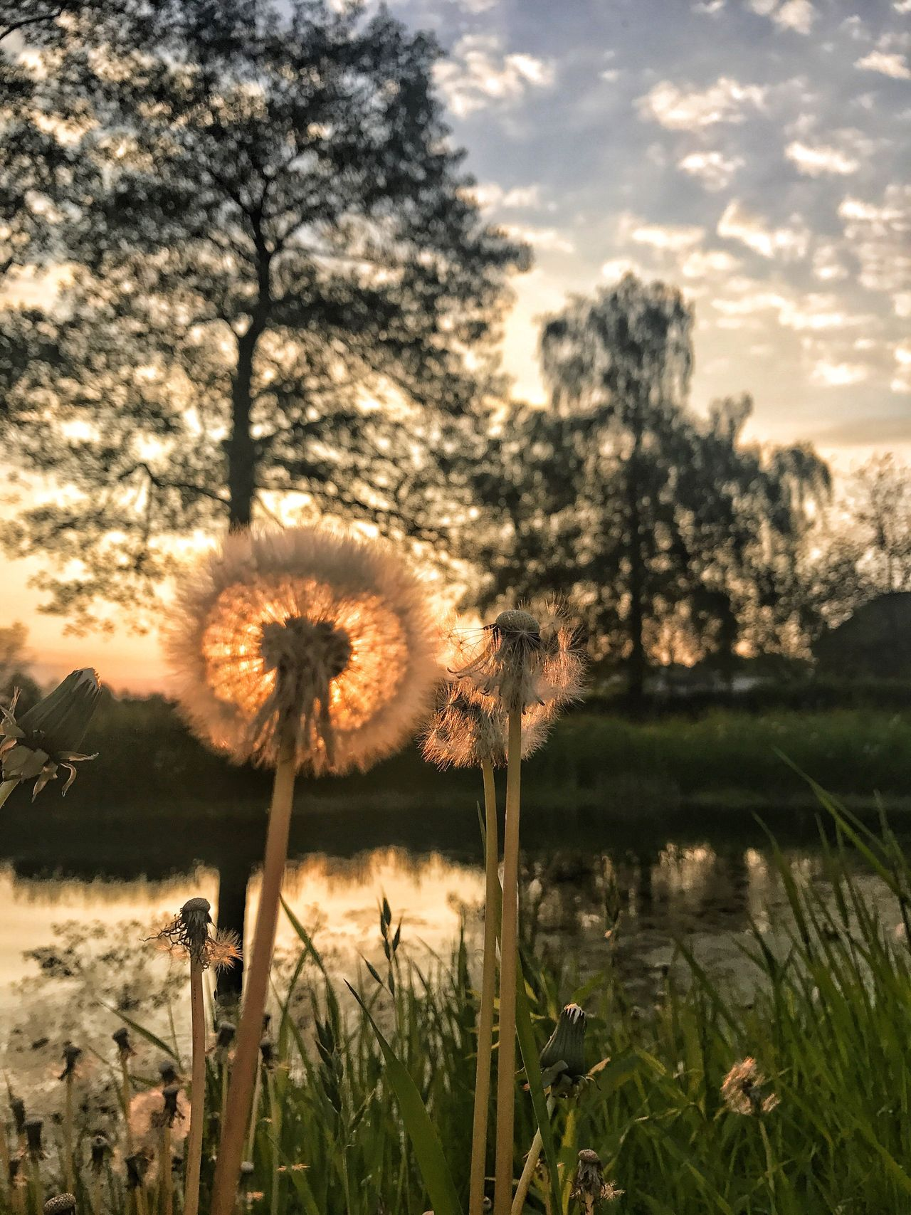 Poland Polska złotno łódź polesie dmuchawiec dentidileon prato łaka field sunset Growth Sky Nature No People Tranquility Fragility Tree Flower Head Plant Beauty In Nature Outdoors Poland 💗