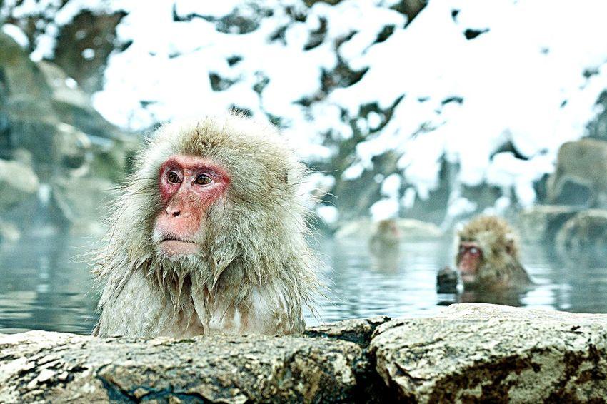 Japan Monkeys Onsen Ultimate Japan