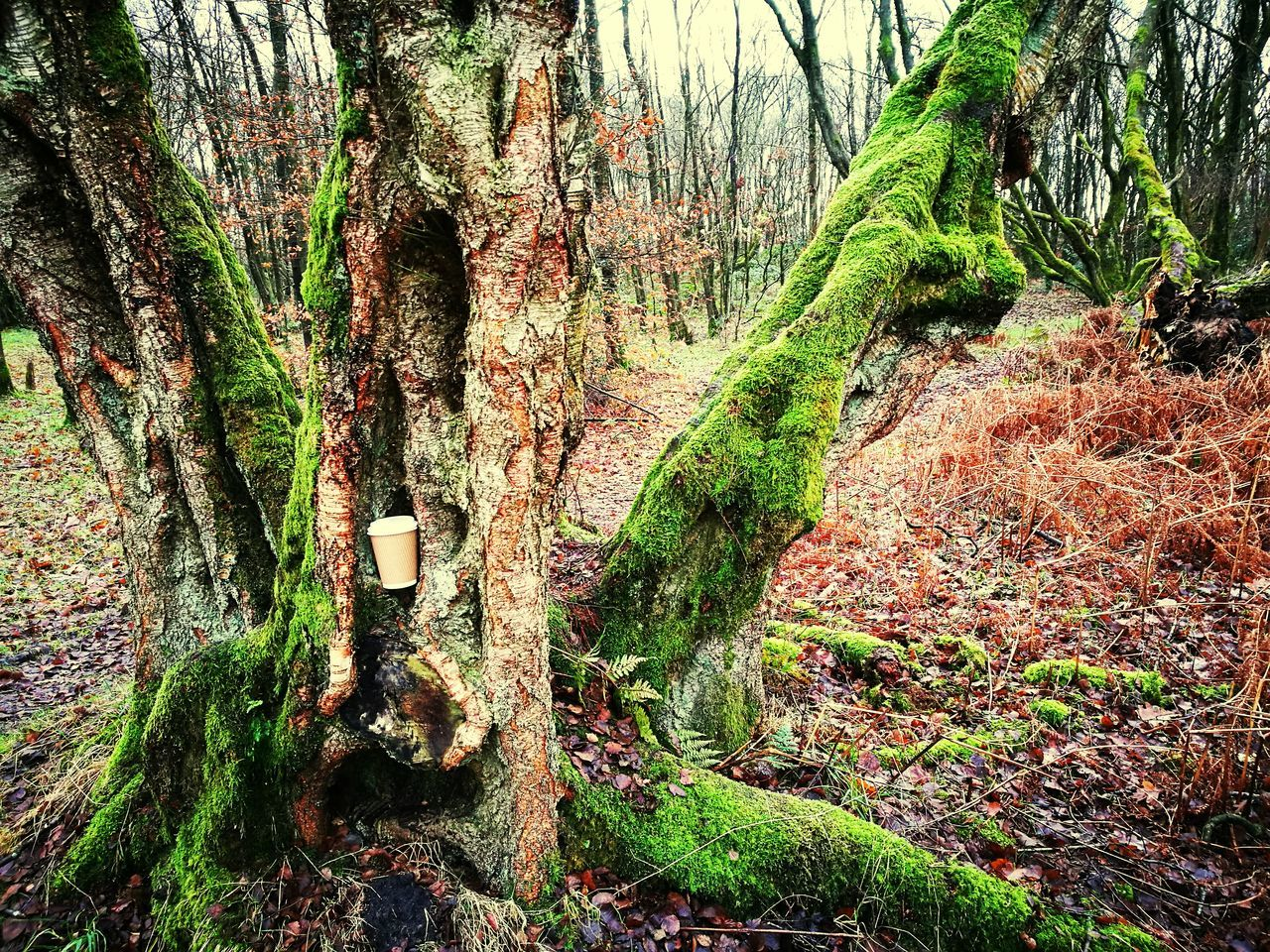 tree trunk, tree, nature, tranquility, beauty in nature, green color, growth, forest, tranquil scene, no people, day, scenics, outdoors, mountain